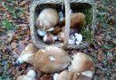 Branje gljiva uz stručno vodstvo na tradicionalnoj goranskoj Gljivarijadi